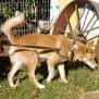 Photo of Mogwai Dingo X