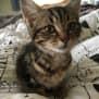 Photo of Codi **2nd Chance Cat Rescue**