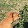 Photo of Pontiac  (Potatoe Puppy)