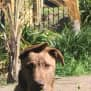 Photo of Cal ~ 9 Month Old Wolfhound X