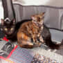 Photo of Sienna **2nd Chance Cat Rescue**