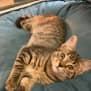 Photo of Star ~ 4 Month Old Female Kitten