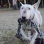 Photo of Fernandez   Nsw Bull Terrier Rescue