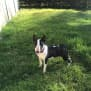 Photo of Fiona    Nsw Bull Terrier Rescue