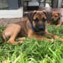 Photo of Storm ~ Mastiff X Ridgeback Pup (On Trial 15/2/20)