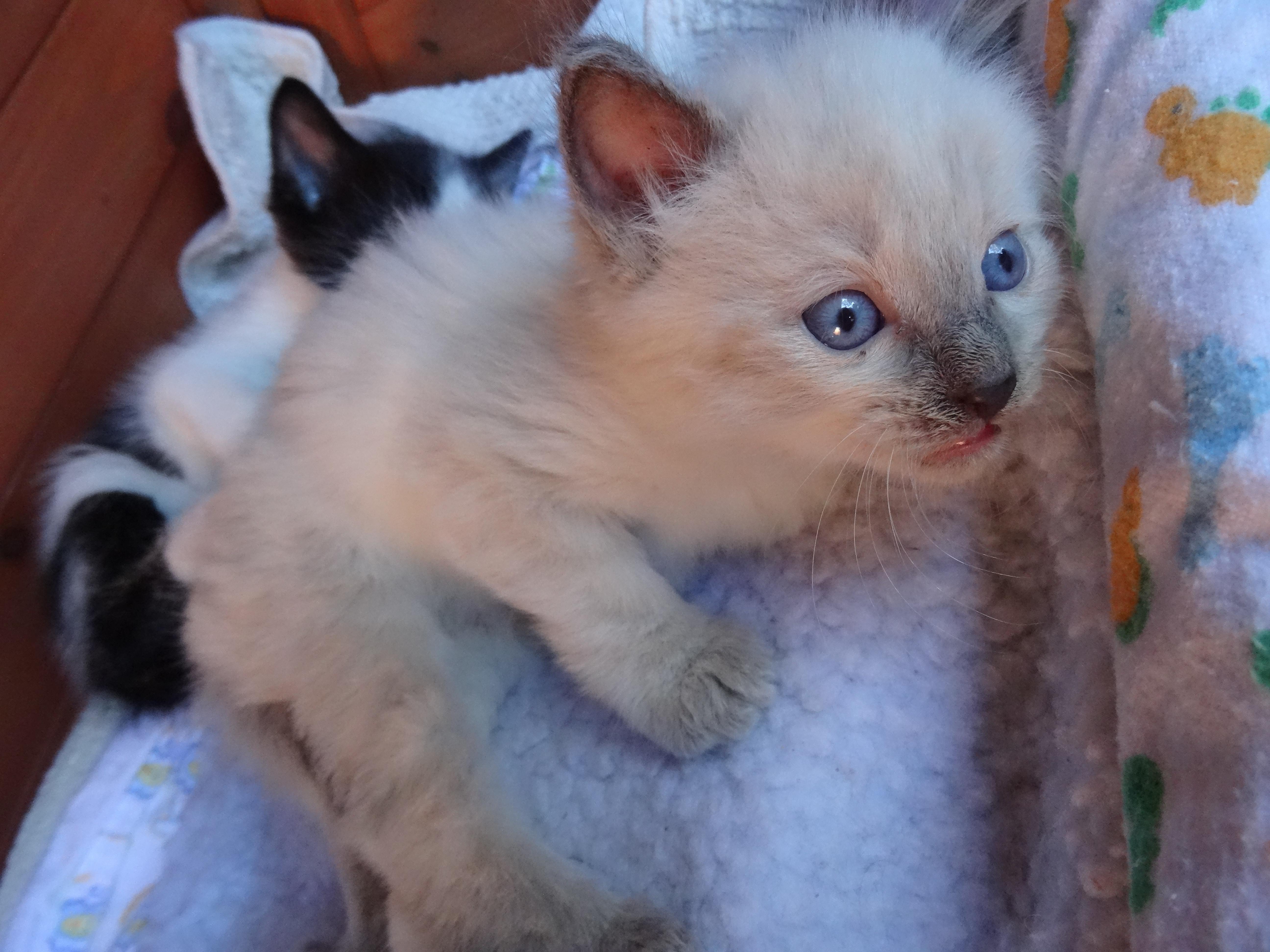 Cody Ragdoll Russian Blue Holding Dep Taken Male Ragdoll Cat In Nsw Petrescue