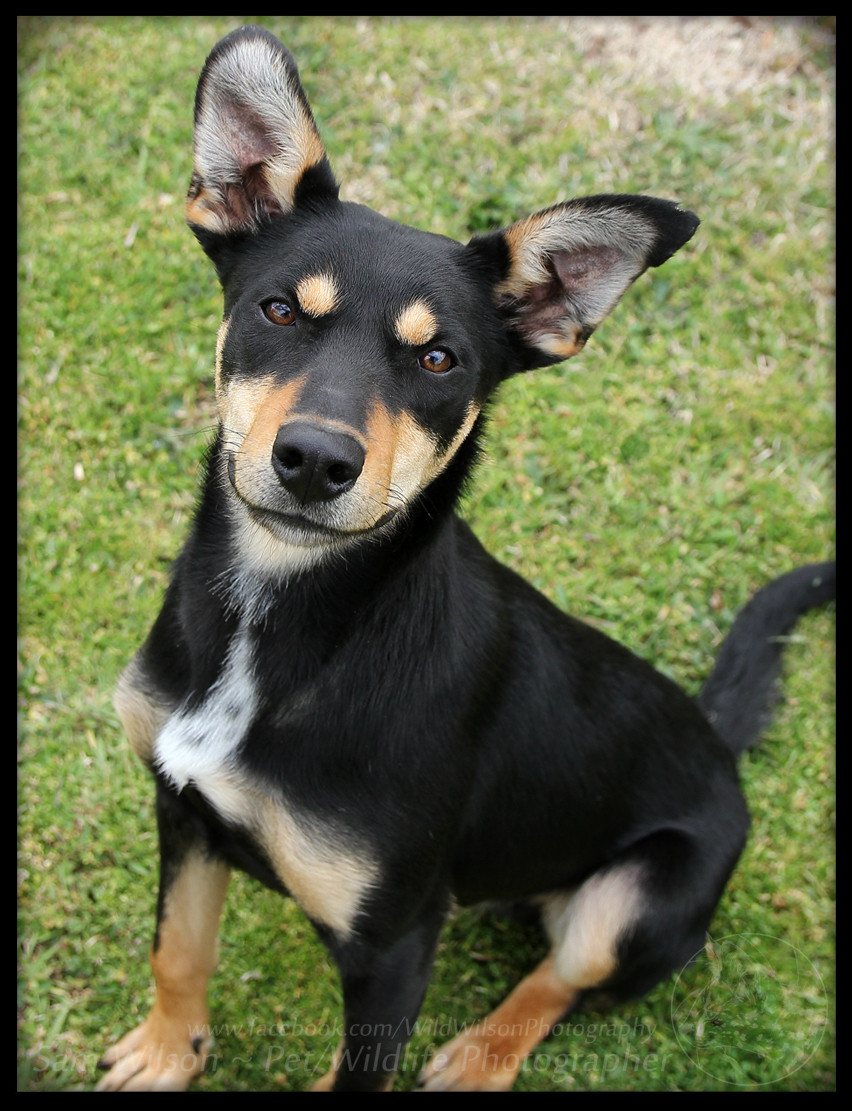 Roy - Medium Male Australian Kelpie Mix Dog in NSW - PetRescue