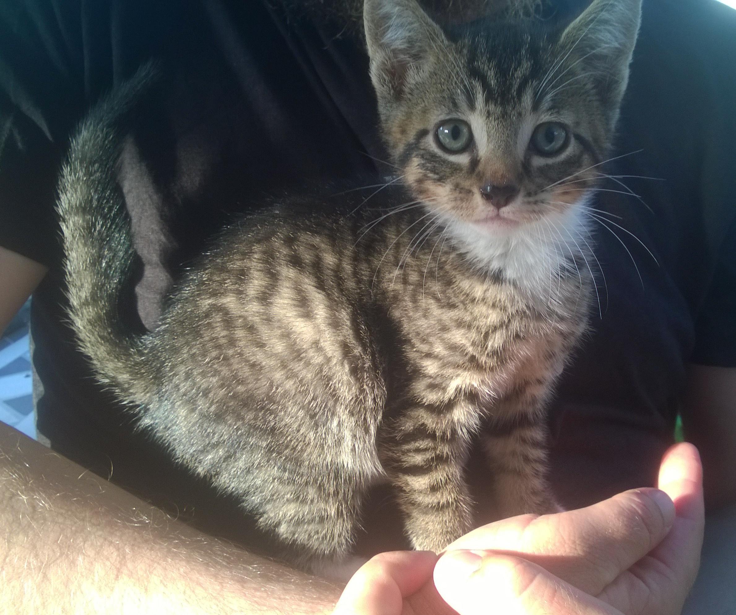 Kittens Mayfield Newcastle Nsw Male Domestic Short Hair Cat In Nsw Petrescue