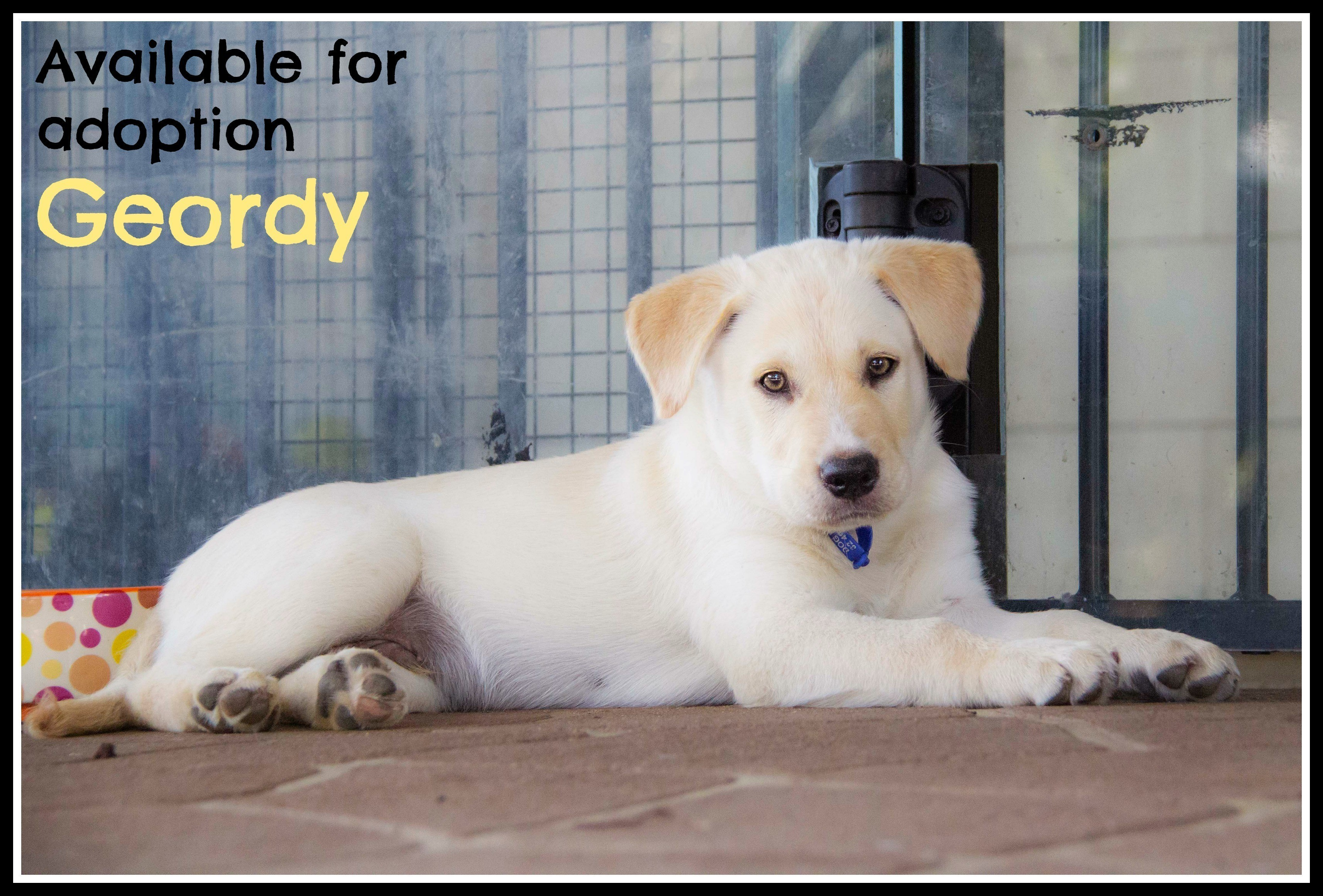 Geordy Labrador X Goldie Puppy Trial 14 5 16 Large Male Golden Retriever X Labrador Mix Dog In Nsw Petrescue