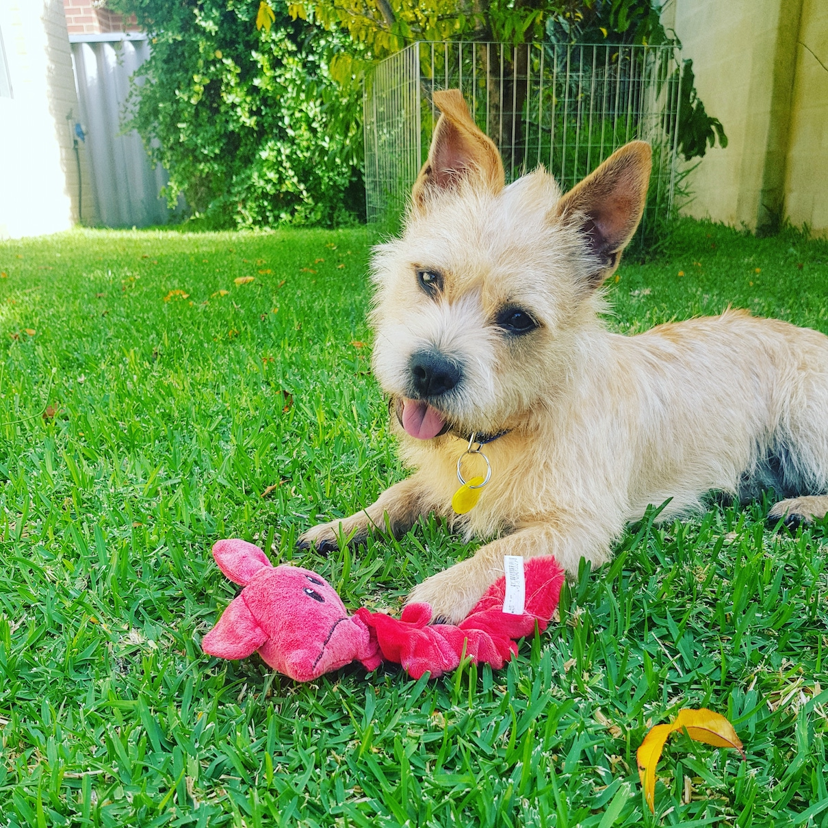 Archibald DL1854 - Small Male Norfolk Terrier Dog in WA ...
