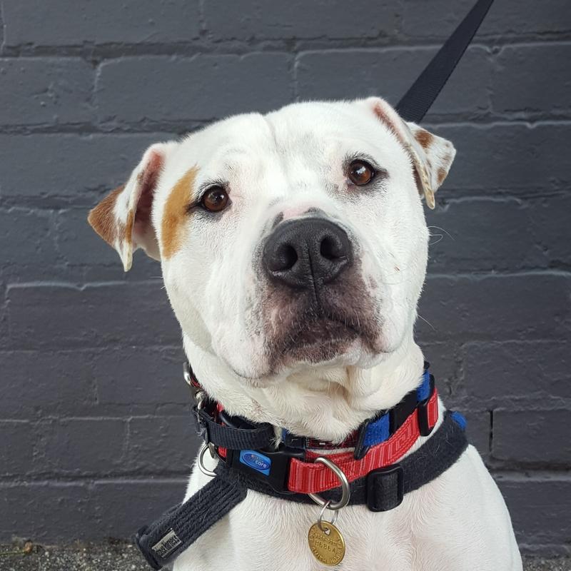 Lisa Medium Female American Staffordshire Terrier X Shar Pei Mix