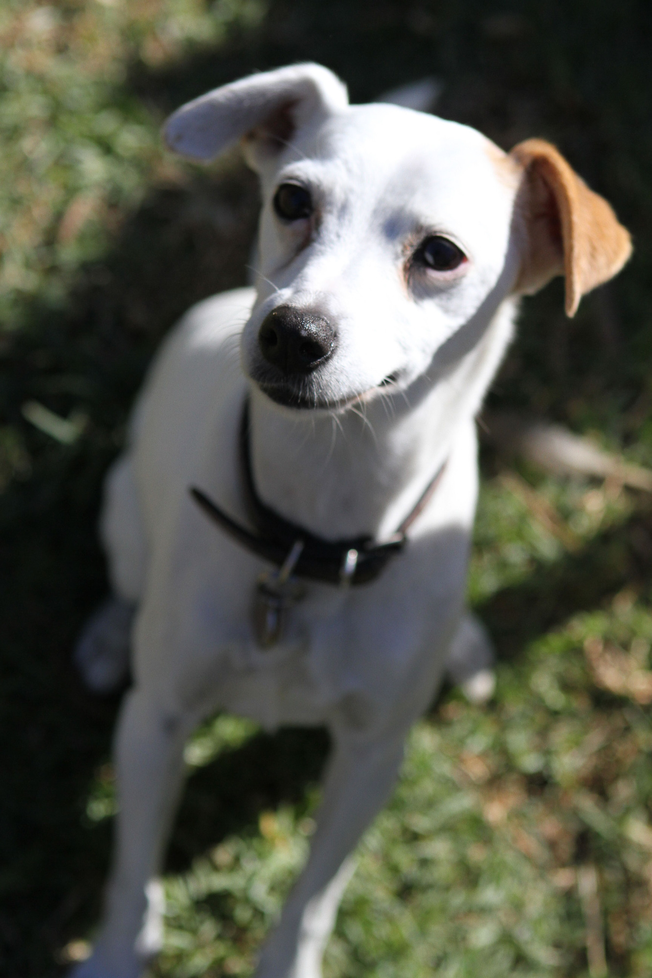 Jack Russell Rescue - PetRescue