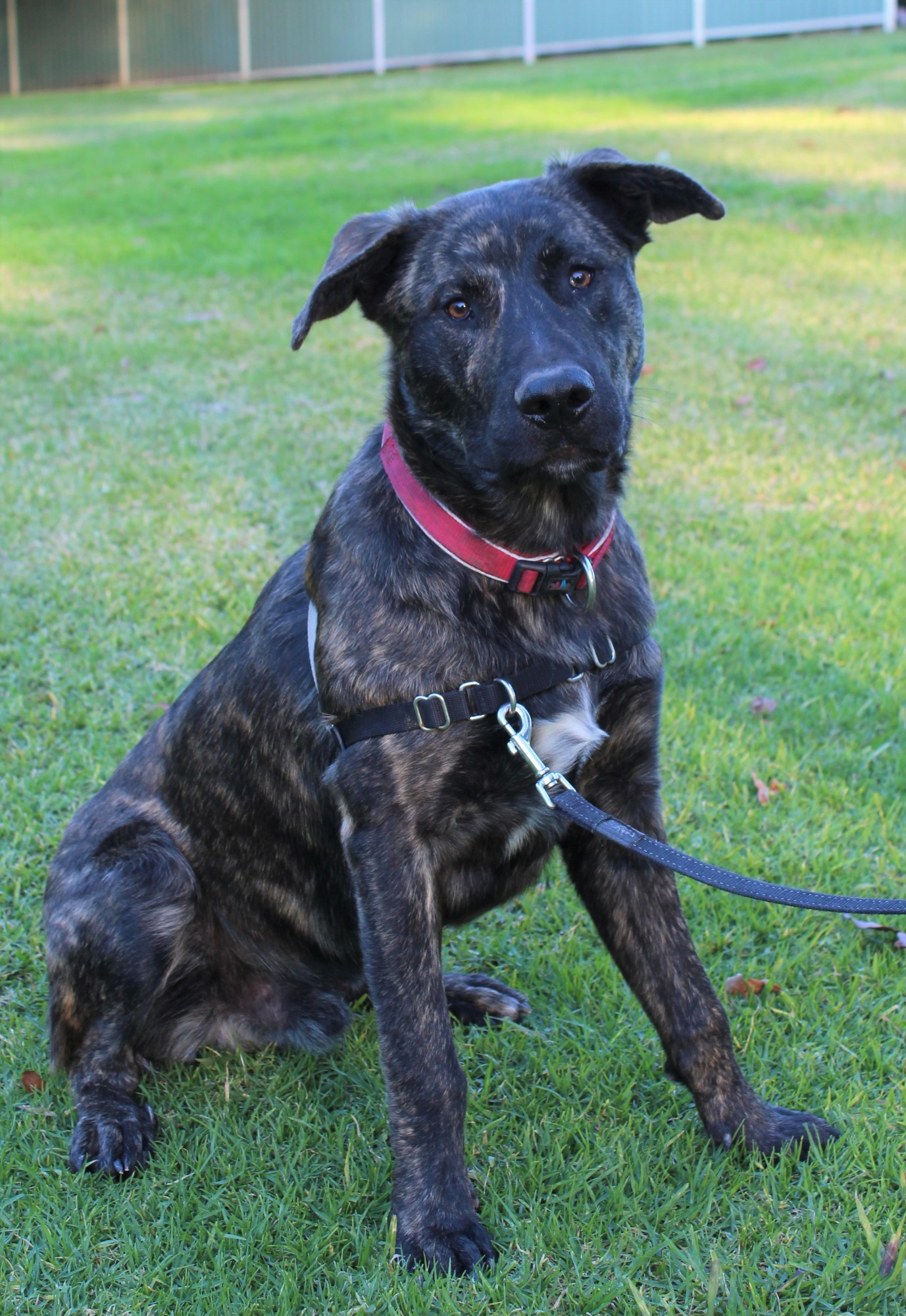 Dutch Shepherd Dog Breed Information - Shepherds Bone