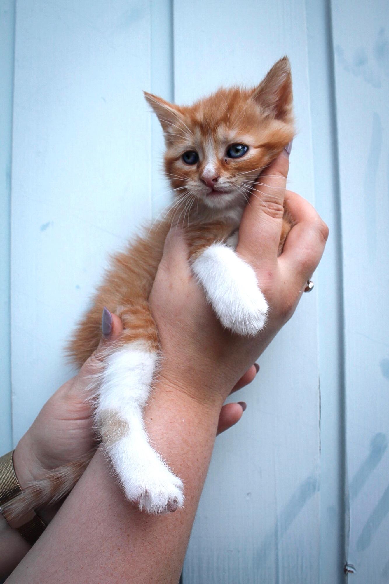 Cinnamon 6 Week Old Kitten On Trial 23 12 19 Male Domestic Short Hair Cat In Nsw Petrescue