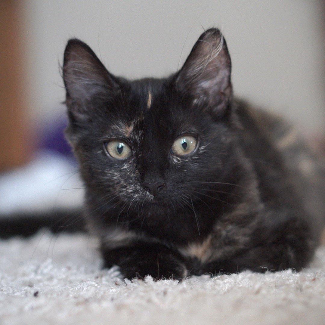 Latte Sweet Female Tortoiseshell Kitten Female Domestic Short Hair Cat In Nsw Petrescue