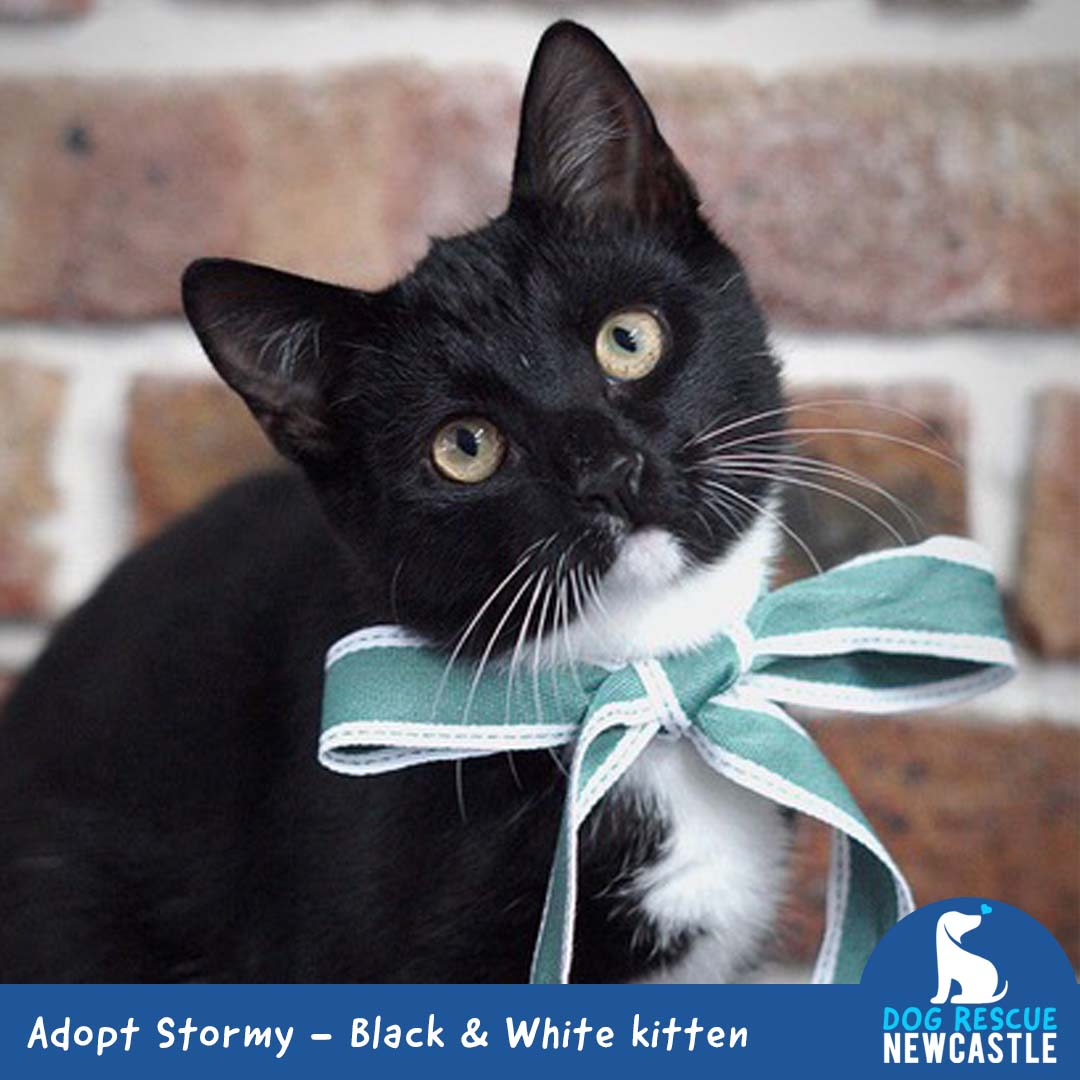 Stormy Black And White Kitten On Trial 22 3 20 Male Domestic Short Hair Cat In Nsw Petrescue