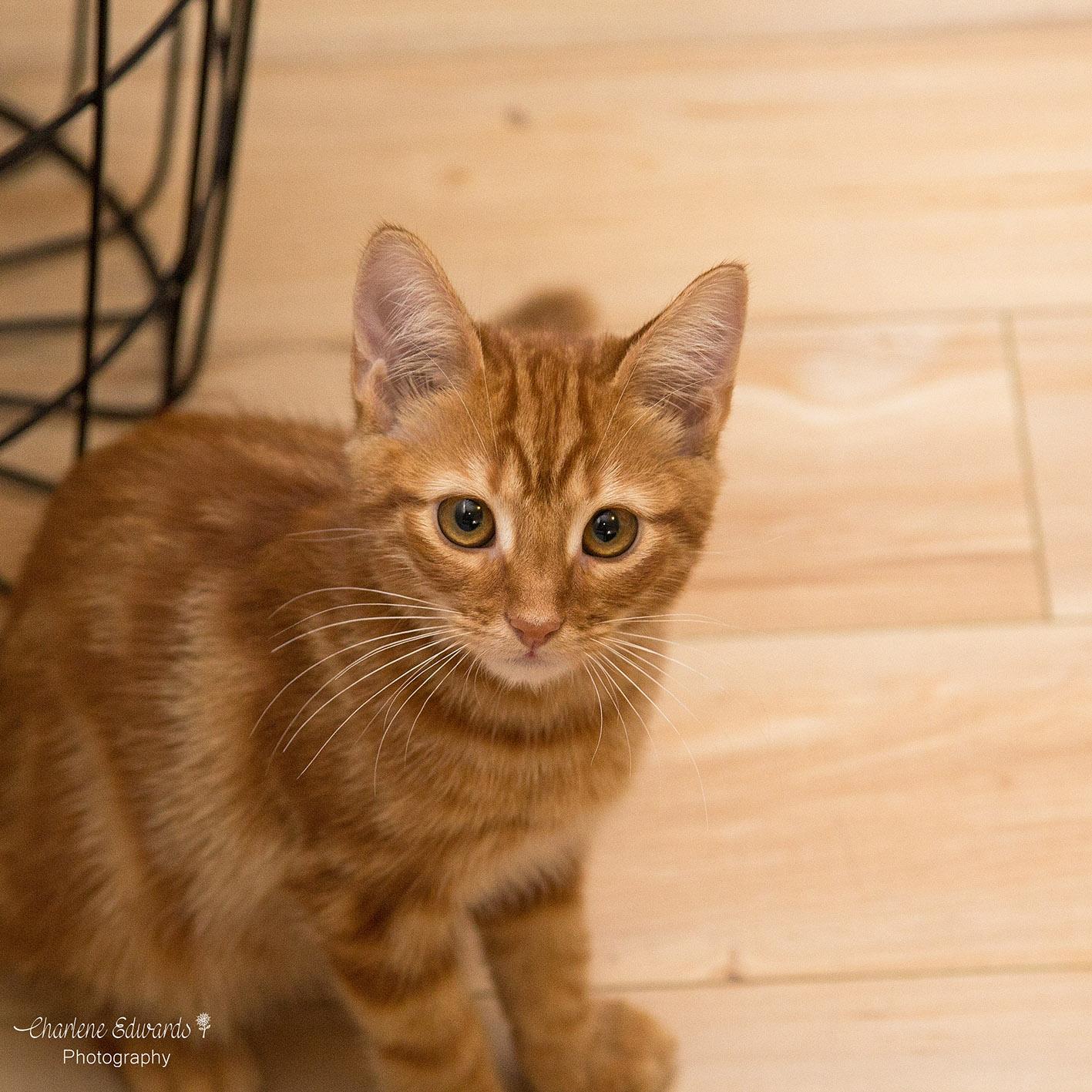 Bj Sweet Ginger Kitten Pending Adoption Male Domestic Short Hair Mix Cat In Nsw Petrescue