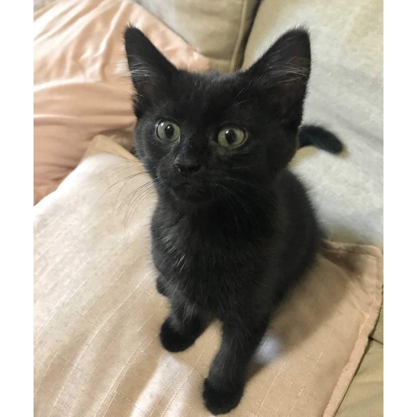 Pete Beautiful Black Kitten On Trial 30 3 20 Male Domestic Short Hair Cat In Nsw Petrescue