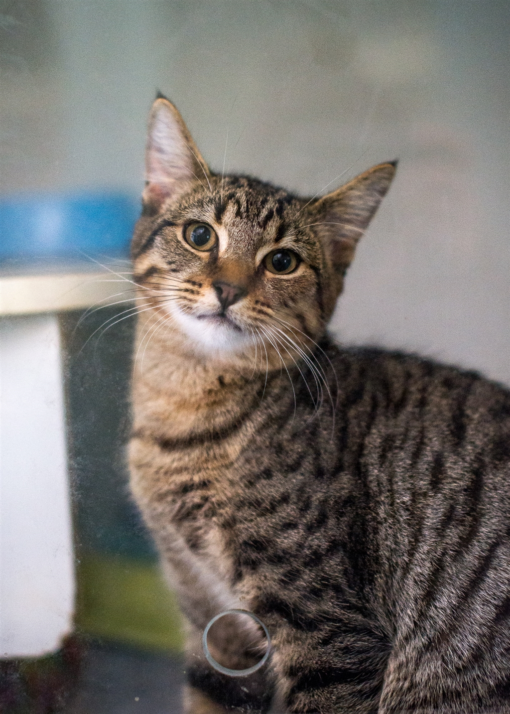 Dallas Male Domestic Short Hair Mix Cat In Nsw Petrescue