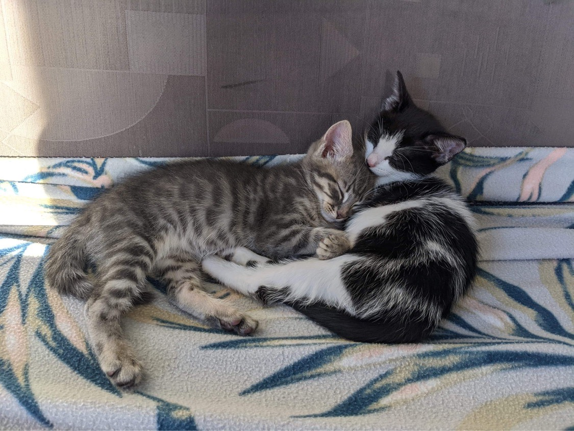 Fawn And Bear 9wk Old Dsh On Trial 16 8 20 Male Domestic Short Hair Cat In Nsw Petrescue