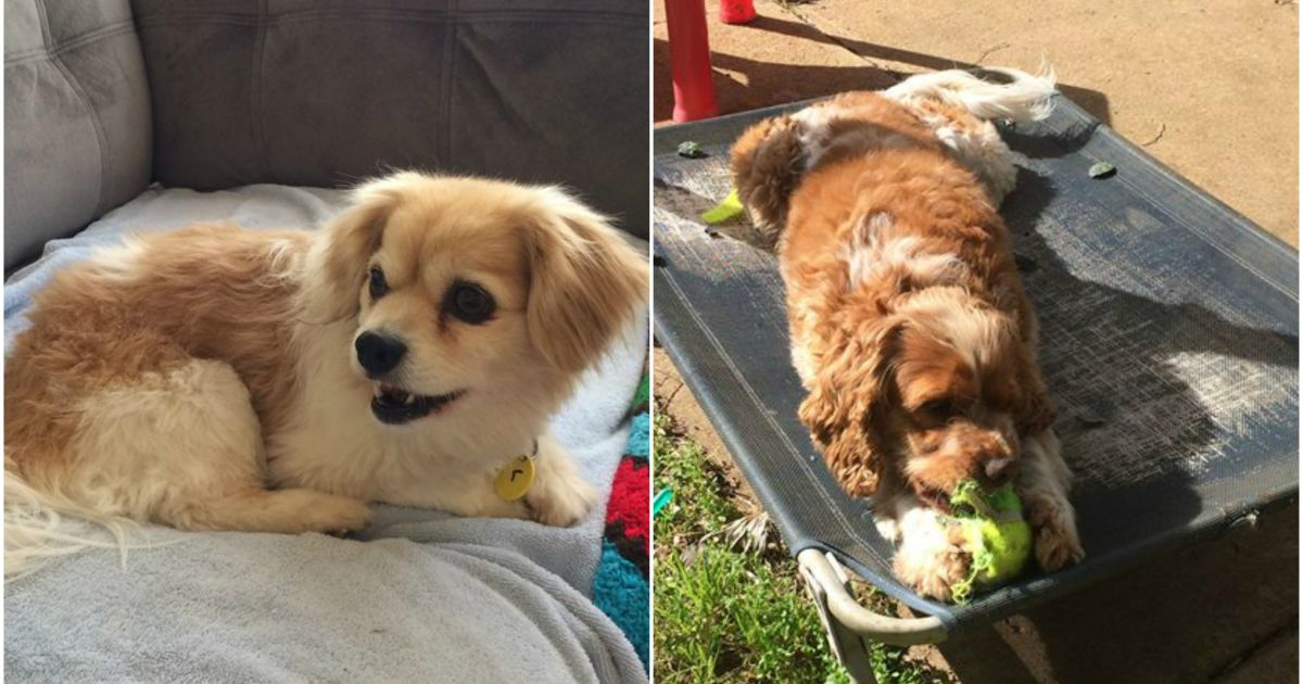 Lucy & Ruby - Medium Female Bichon Frise x Cavalier King