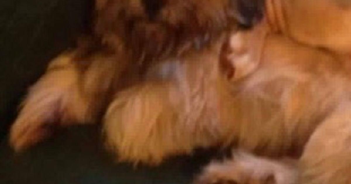 pumps - small male maltese x shih tzu dog in nsw