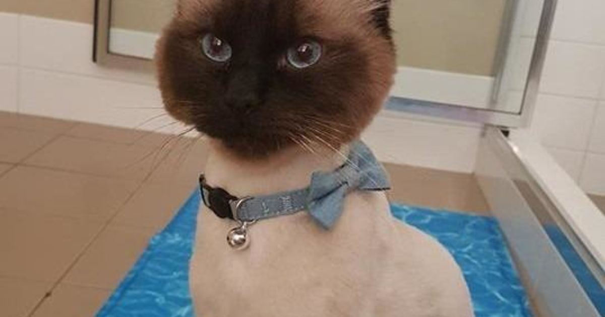 Theodore - Male Ragdoll Cat in WA - PetRescue
