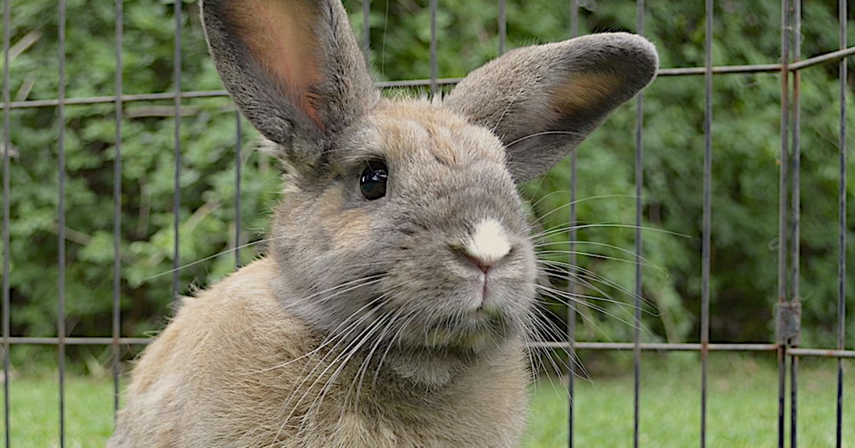 Maria - Female Rabbit in NSW - PetRescue