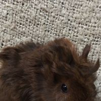 Photo of Curly Dash ( Pup Of Possum)
