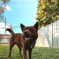 Photo of Bruno ~ 3yr Old Husky X Kelpie
