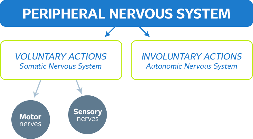 peripheral_nervous_system_schema.png