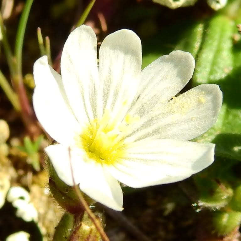 Cerastium semidecandrum