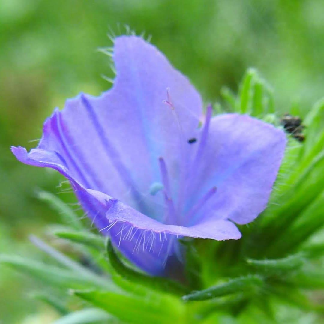 Echium plantagineum