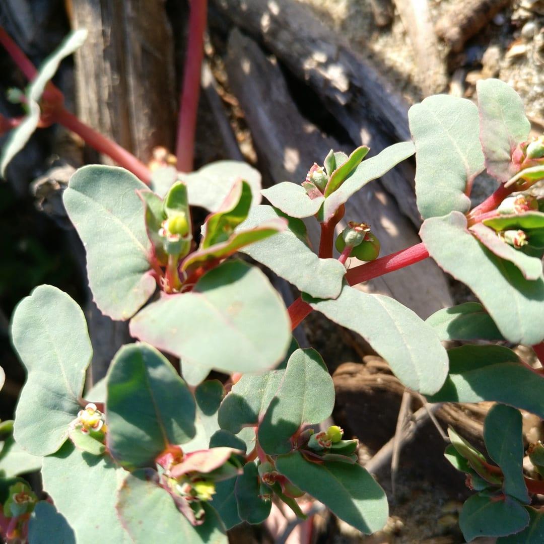Euphorbia peplis