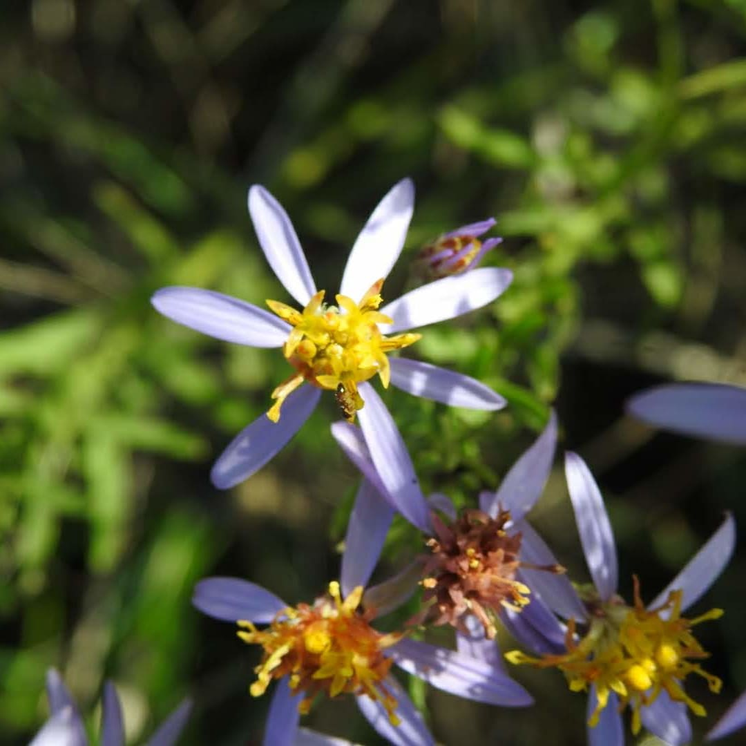 Galatella sedifolia