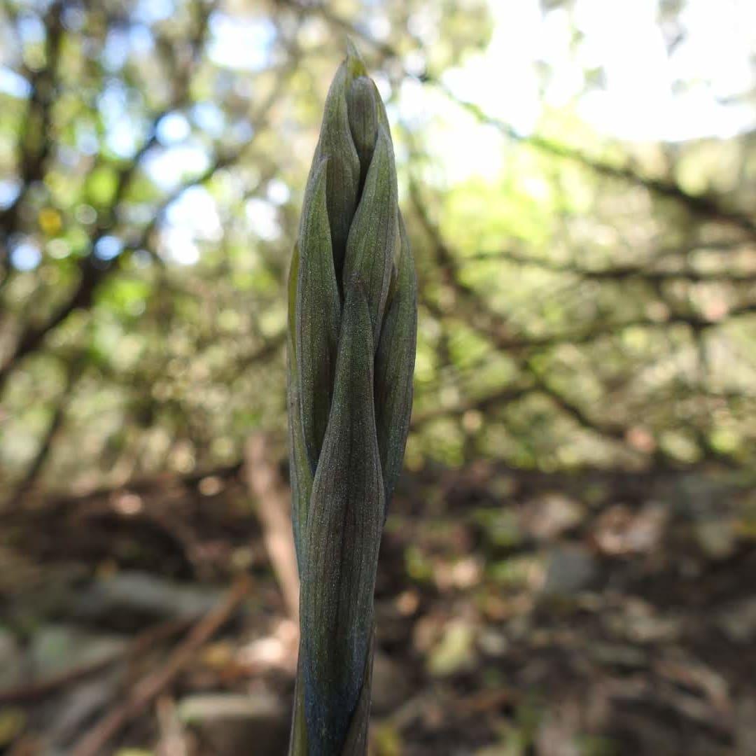 Limodorum abortivum