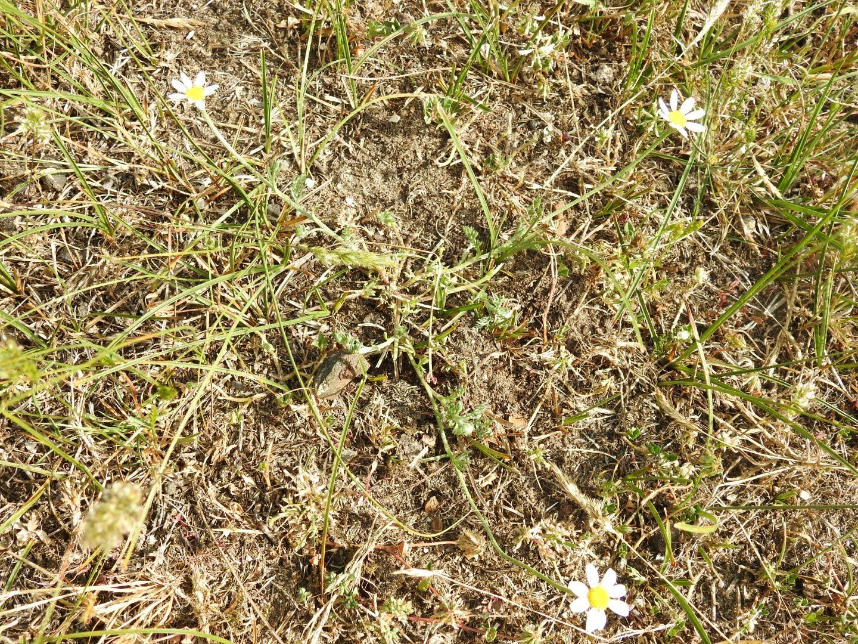 Anthemis arvensis - Asteraceae