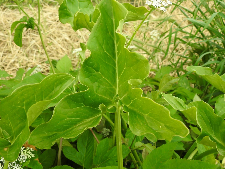 Arum italicum - Araceae
