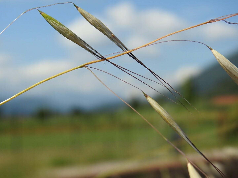 Avena sativa - Poaceae