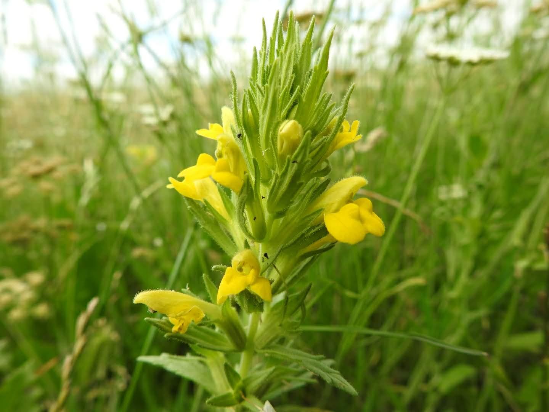 Bellardia viscosa