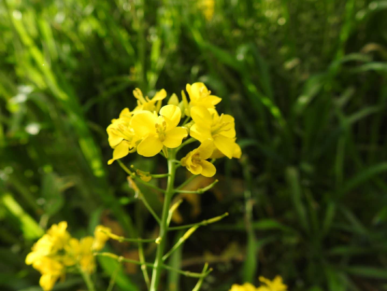 Brassica rapa - Brassicaceae