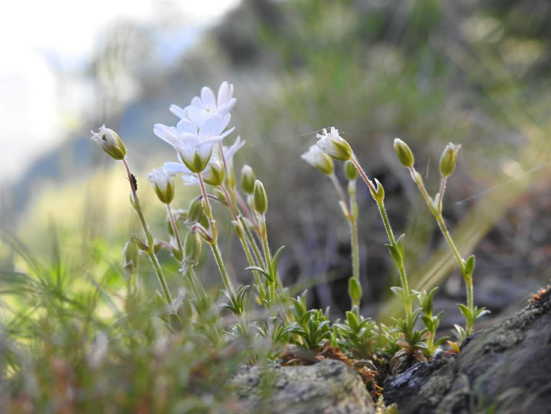 Cerastium alpinum - Caryophyllaceae
