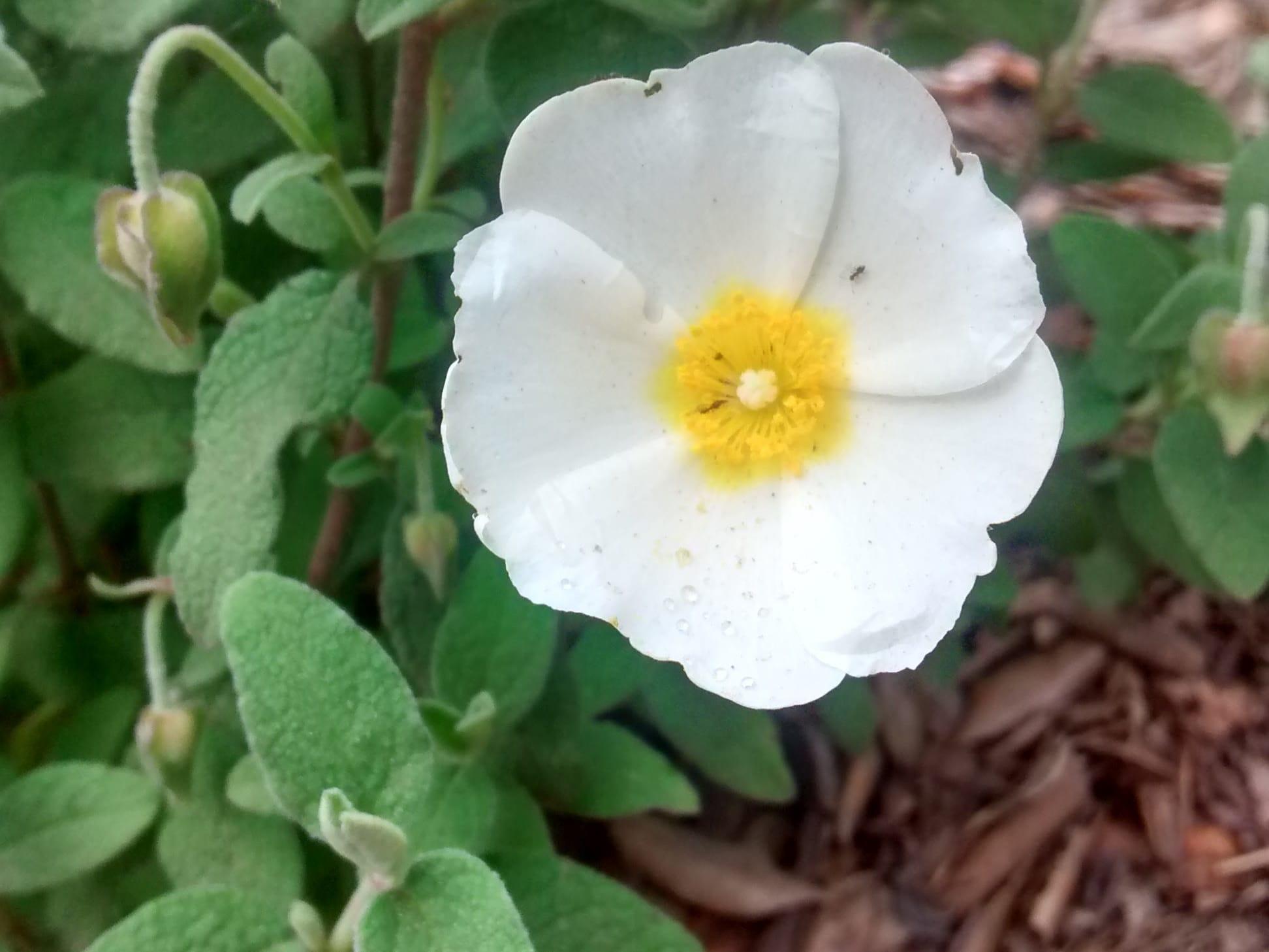Cistus salviifolius - Cistaceae
