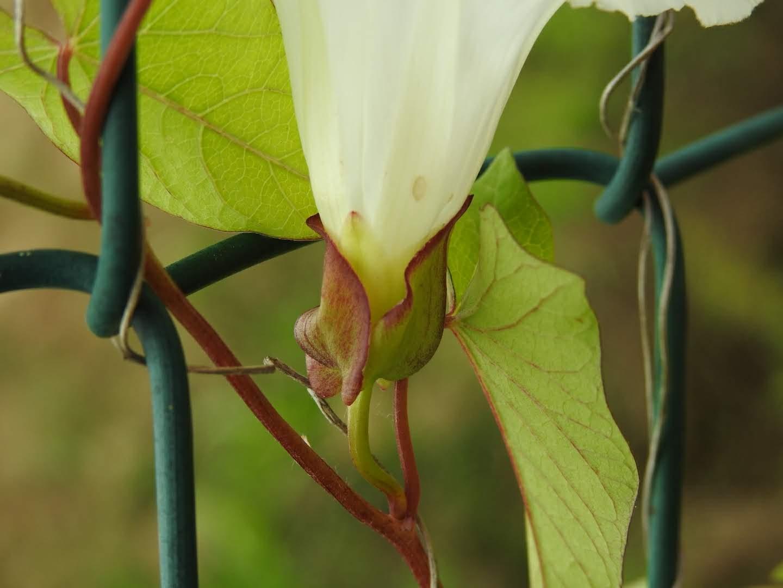 Convolvulus sepium