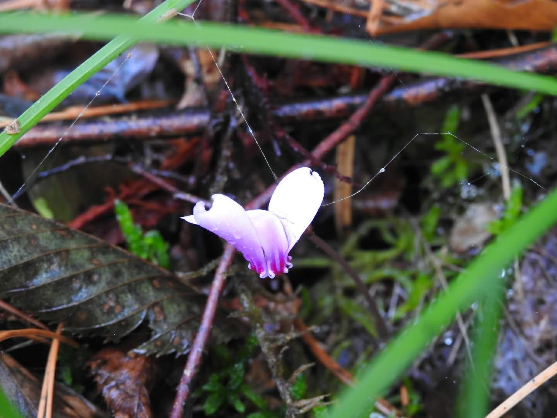 Cyclamen hederifolium - Primulaceae