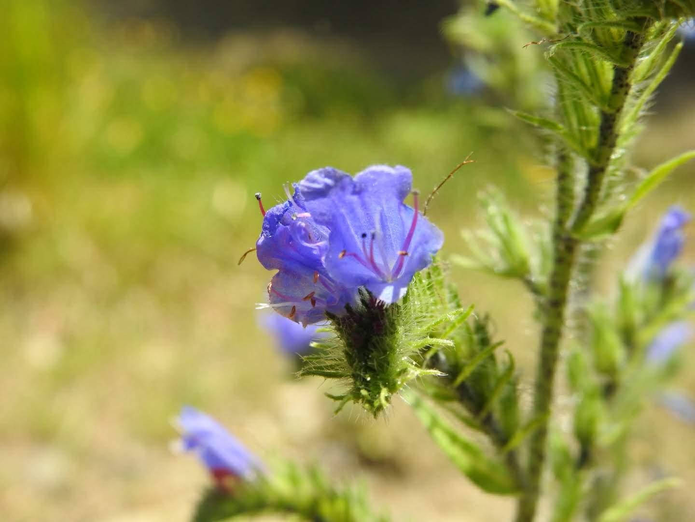 Echium vulgare - Boraginaceae