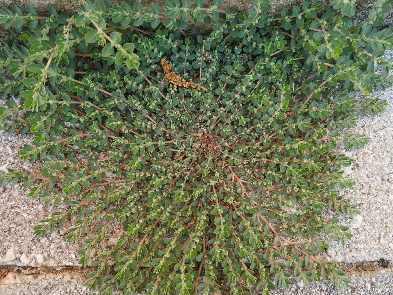 Euphorbia prostrata - Euphorbiaceae