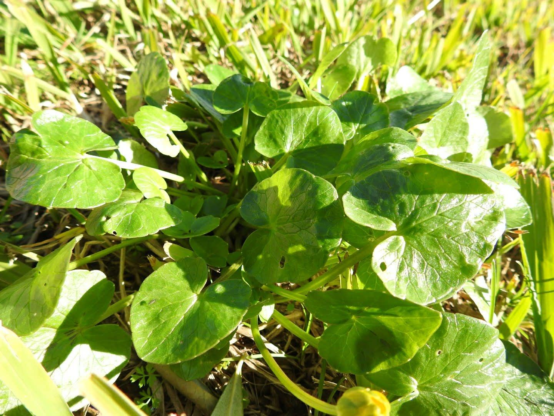 Ficaria verna - Ranunculaceae