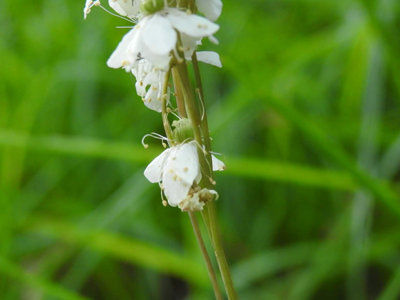 Filipendula vulgaris - Rosaceae