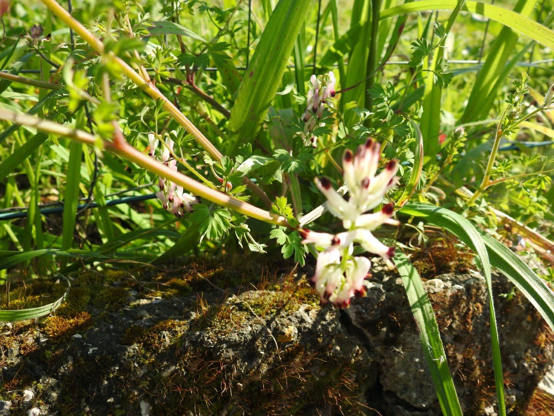 Fumaria capreolata - Papaveraceae